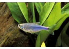 Tetra bleu de Cochu, Bleu, 2,8-3cm