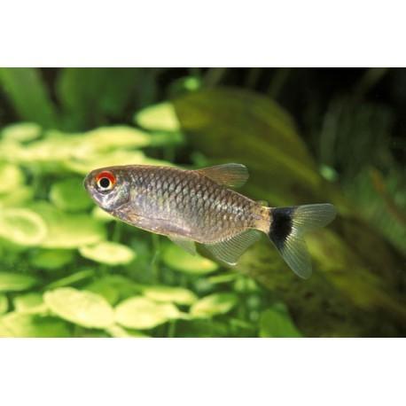Tetra aux yeux rouges, Argenté, 2-2,5cm