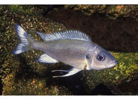 Ophthalmotilapia ventralis , Bright blue, 5 à 6cm