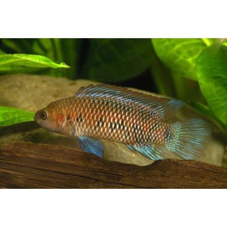 Badis caméléon, Rouge et bleu, 1-3cm