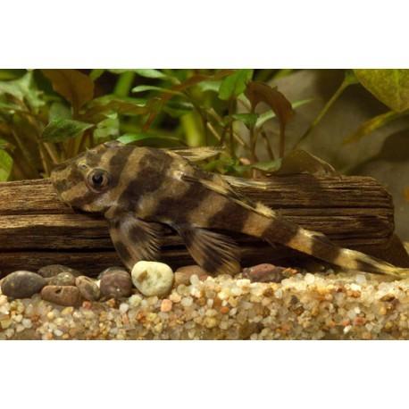 Butterfly Pleco, L52, Tigré noir et orange, 10-15cm
