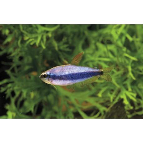 Tetra royal, Bleu, 3-3,5cm