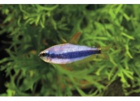 Néon bleu, Tétra royal, Super bleu, 3cm
