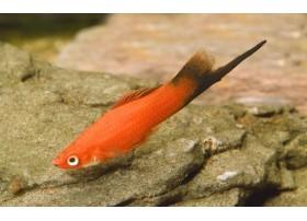 Xipho, Porte-épée, Wagtail rouge, 4-5cm