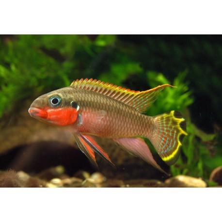 Pelvicachromis taeniatus, Rouge, 3 à 5cm