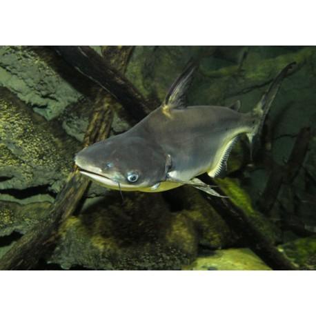 Silure requin, Gris, 4-5cm