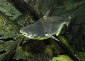 Silure requin, Gris, 6-7cm