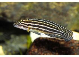 Julidochromis regani , Rayé jaune et noir, 4 à 5cm