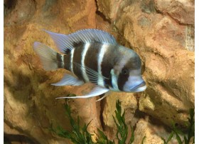 Cyprichromis Leptosoma, Bleu, 3 à 4cm