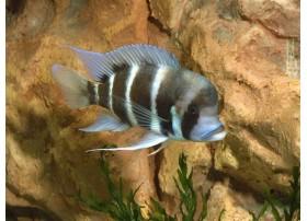 Cyprichromis sp. kitumba jumbo, , 4 à 5cm