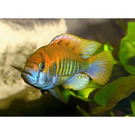 Haplochromis nyererei, 4-5cm