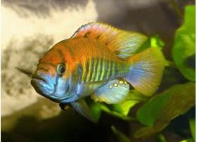 Haplochromis nyererei, Flame back, 3-4cm