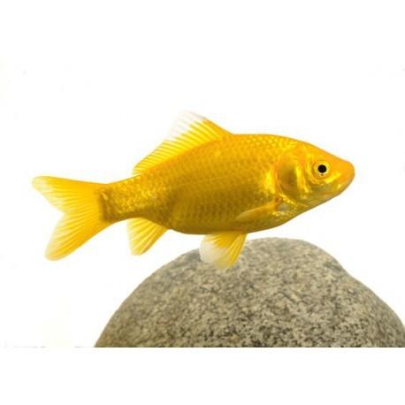 Poisson jaune, Jaune, 5-7cm
