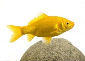Poisson jaune, Jaune, 8-10cm