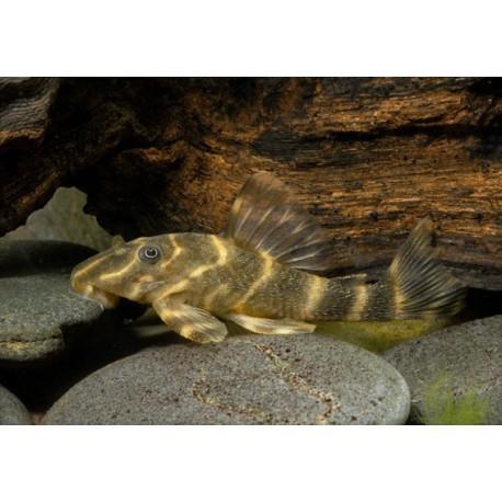 Silure cuirassé nain rayé, Marron rayé de brun, 4-6cm