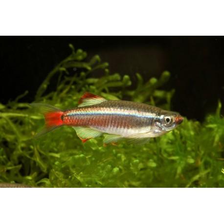 Tanichthys linni, Argenté et rouge, 3-3,5cm