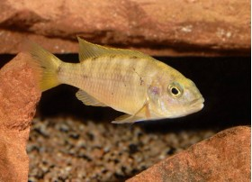 Labidochromis sp Hongi, red top, 3 à 4cm