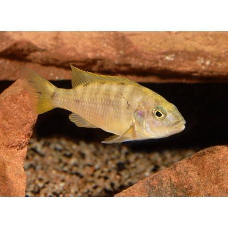 Labidochromis sp Hongi, red top, 3 à 4cm