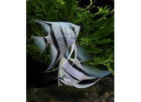 Scalaire , Blue tiger, 4-5cm