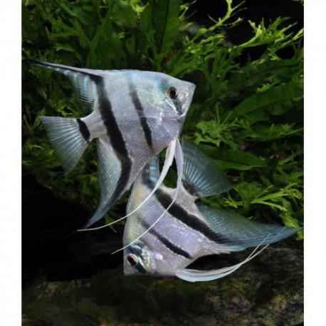 Scalaire , Bleu, 4-5cm