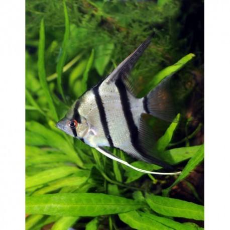 Scalaire Manacapuru, Red back, 3-4cm