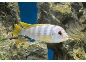 Labidochromis perlmutt, Nacré, 3 à 4cm