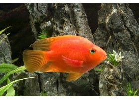 Red Parrot, poisson Perroquet, Rouge, 5-6cm