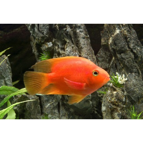 Red Parrot, poisson Perroquet, Rouge, 6-8cm