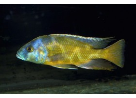 Nimbochromis venustus, Jaune et bleu, 3 à 4cm