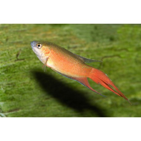 Poisson-paradis, Rouge, 3-4cm
