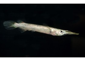 Demi-bec, Silver, 3-4cm