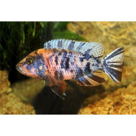 Aulonocara rubescens, Rouge, 6 à 7cm