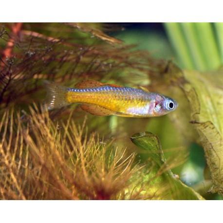 yeux bleux de Paskai, Neon red, 2-3cm