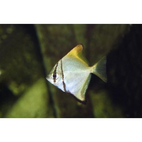poisson-luned'argent, Argenté, 4-5cm