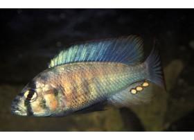 Haplochromis burtoni, 4-5cm