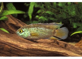 Cichlidé à œil d'or, Cichlidé nain brillant, 2-3cm