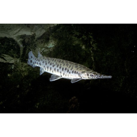 Poisson alligator, 7-8cm