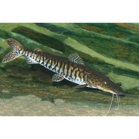 Suburi tigre, 7-10cm