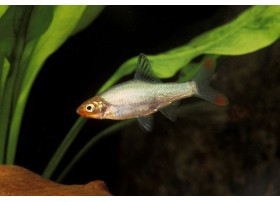 Nez rouge asiatique, 2-3cm