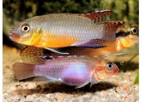 Congochromis sabinae, 3 à 4cm