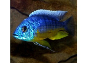 Protomelas spilonotus, Bleu, 6 à 7cm