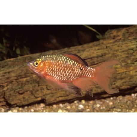 Barbus rosé, 3-4cm