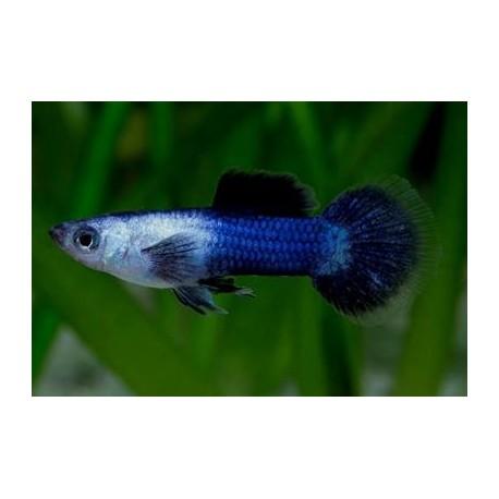 Guppy endler, 2-2,5cm, Panda Bleu