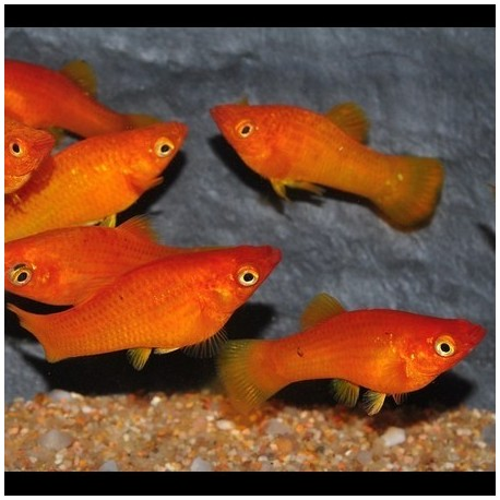 Molly, 4-5cm, Rouge-orange