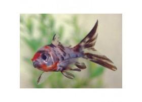 Shubunkin, 4-5cm, Calico