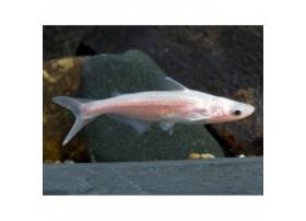 Silure requin, 9-12cm, Albinos