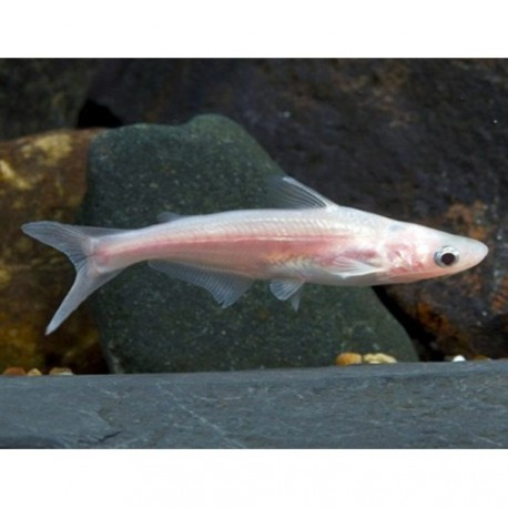 Silure requin, 4-5cm, Albinos