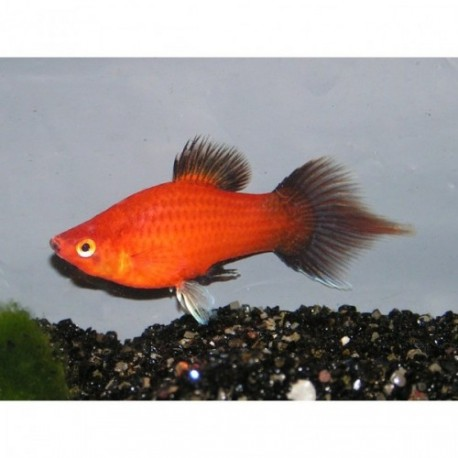 Platy, +3,5cm, Spitz wagtail rouge