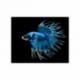 Combattant, 5-6cm, Crowntail, Mâle