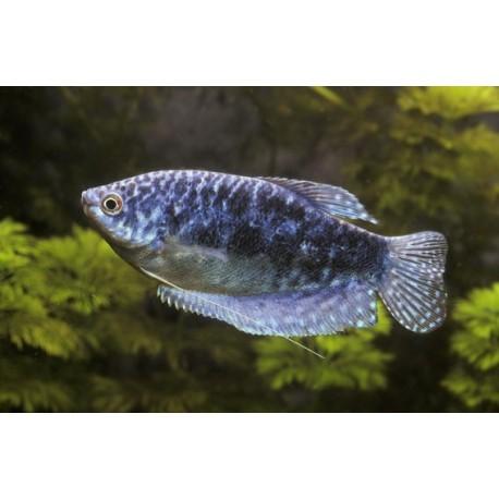 Gourami bleu cosby, 5-6cm, Bleu marbré